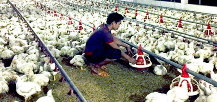 chăn nuôi gà công nghiệp
