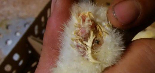 Bệnh viêm rốn gà con