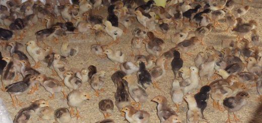 Chăn nuôi gà thịt