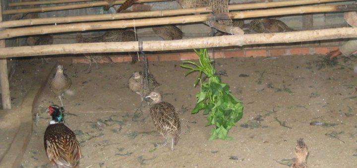vệ sinh chuồng chim trĩ