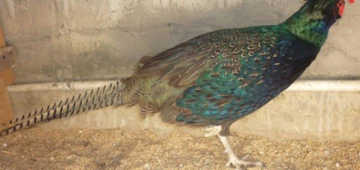 chim trĩ xanh