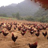 gà ri tía mận thuần chủng