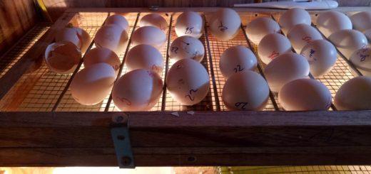 Hiện tượng ấp trứng gà không nở