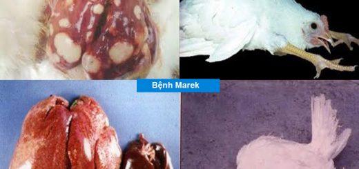 Biểu hiện bệnh marek ở gà