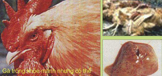 bệnh tụ huyết trùng ở gà