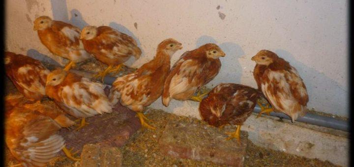bệnh viêm phế quản truyền nhiễm ở gà