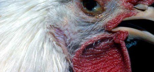 bệnh viêm đường hô hấp ở gà