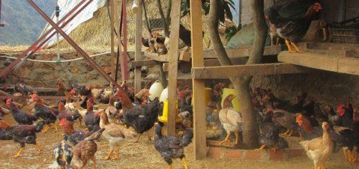 Chăn nuôi gà bán chăn thả.