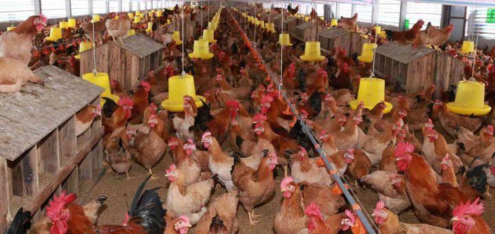 Chăn nuôi gà đẻ