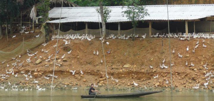 Chuồng trại nuôi ngan vịt