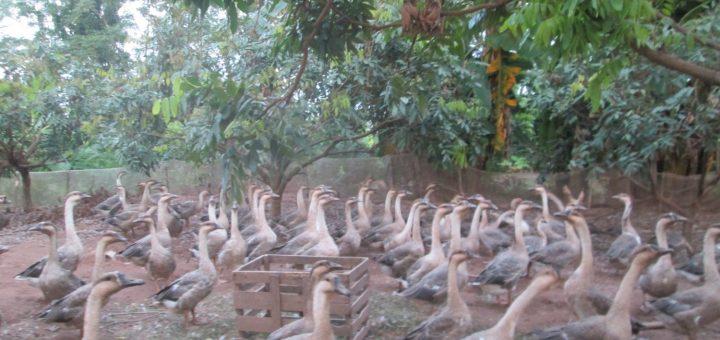 Chăn nuôi ngỗng thả vườn