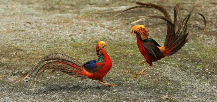 Xác định giới tình chim trĩ