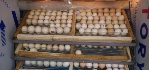 Tam quan trọng độ ẩm trong quá trình ấp trứng