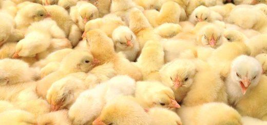 Chọn gà giống một ngày tuổi