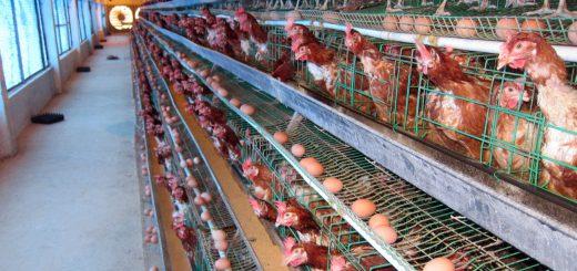 Mô hình nuôi gà đẻ