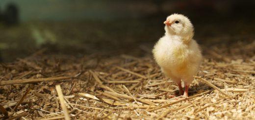 tiêu chí chọn gà con
