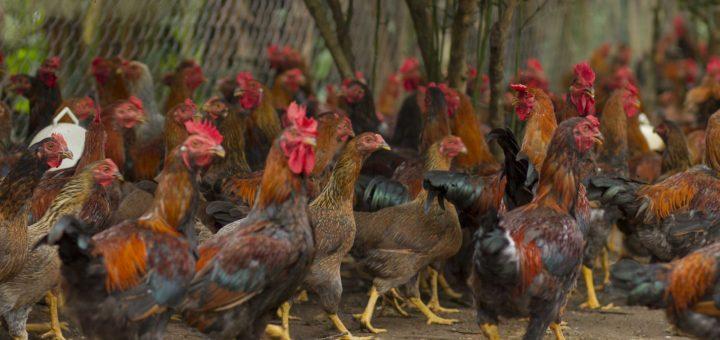 kinh nghiệm nuôi gà thịt