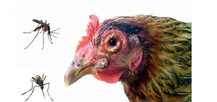 ký sinh trung đường máu ở gà