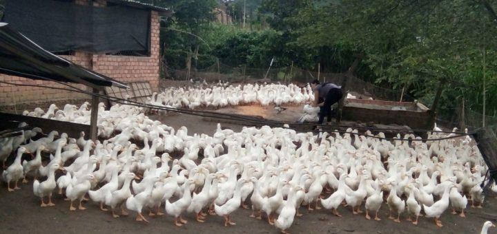 Chăn nuôi vịt thả vườn