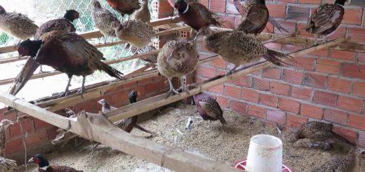 nuôi chim trĩ đỏ