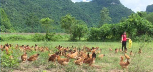 Quy trình nuôi gà thả vườn