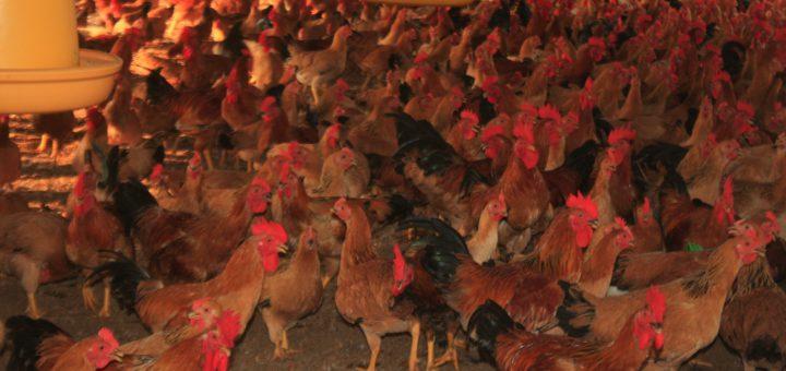 gà ri vàng rơm thuần chủng