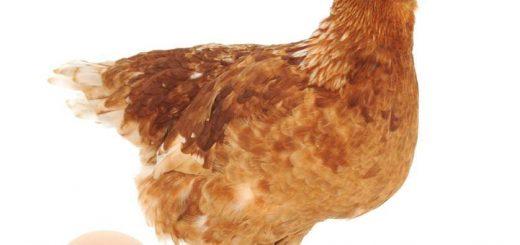 Thức ăn cho gà đẻ hướng thịt