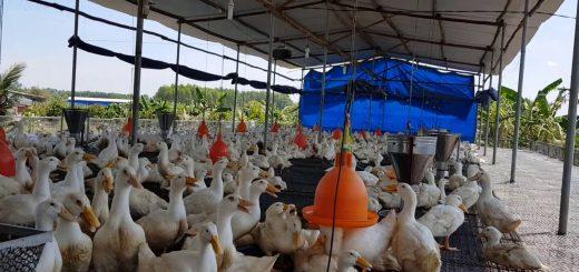 Chuồng trại chăn nuôi ngan vịt
