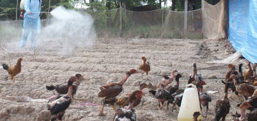 Vệ sinh chuồng trại nuôi gà