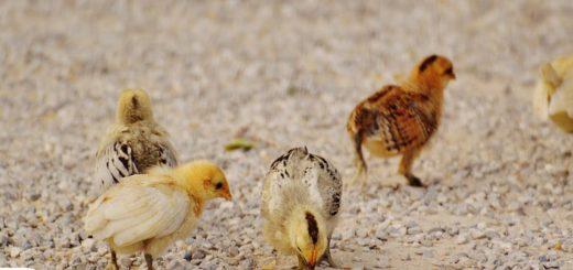 Bệnh viêm đường hô hấp mãn tính ở gà