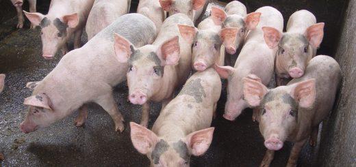 Hiện tượng chênh lệch trọng lượng ở lợn con