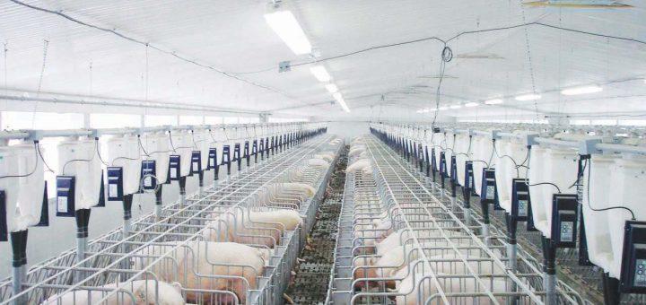 Hướng dẫn thiết kế chuồng nuôi lợn hiệu quả