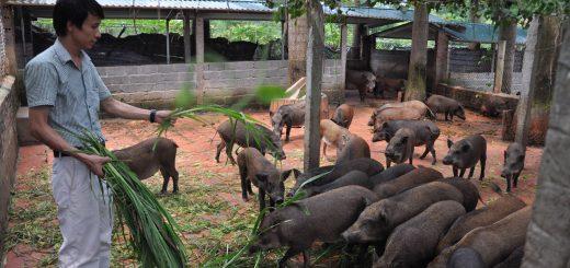 Mô hình nuôi lợn rừng bằng thuốc nam
