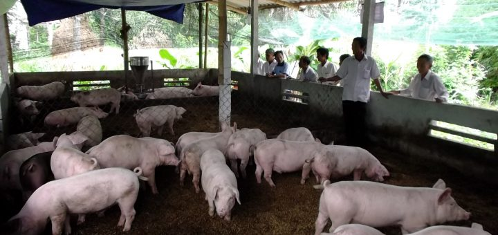 Hiệu quả từ mô hình chăn nuôi heo trên đệm lót sinh học