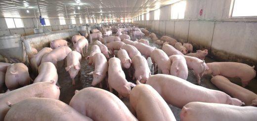 Mô hình nuôi lợn khép kin