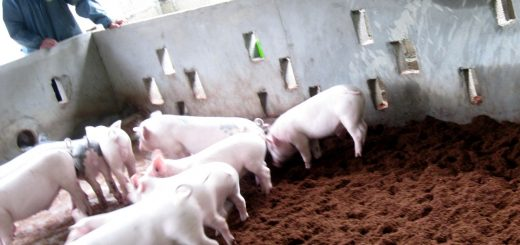 Những hạn chế của mô hình chăn nuôi lợn bằng đệm lót sinh học